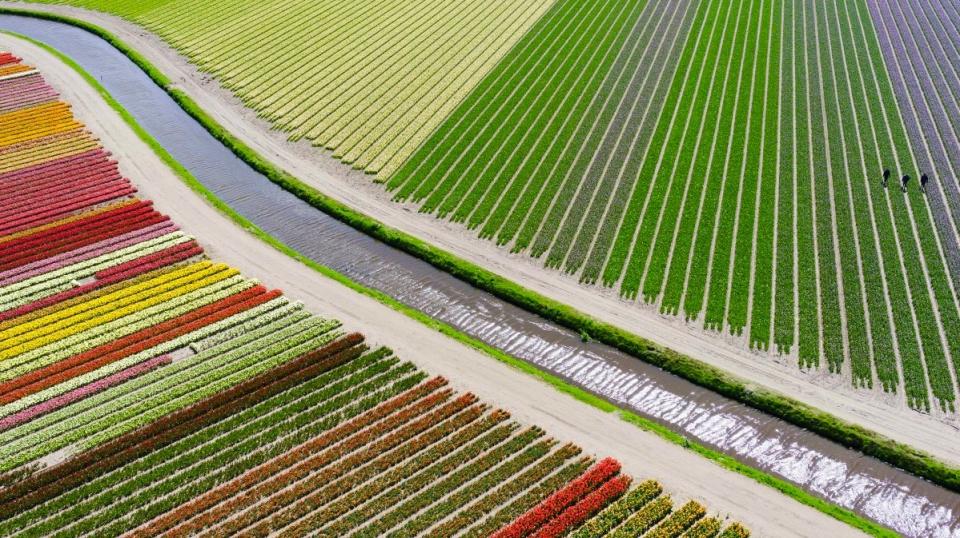 Campo de tulipanes en Voorhout